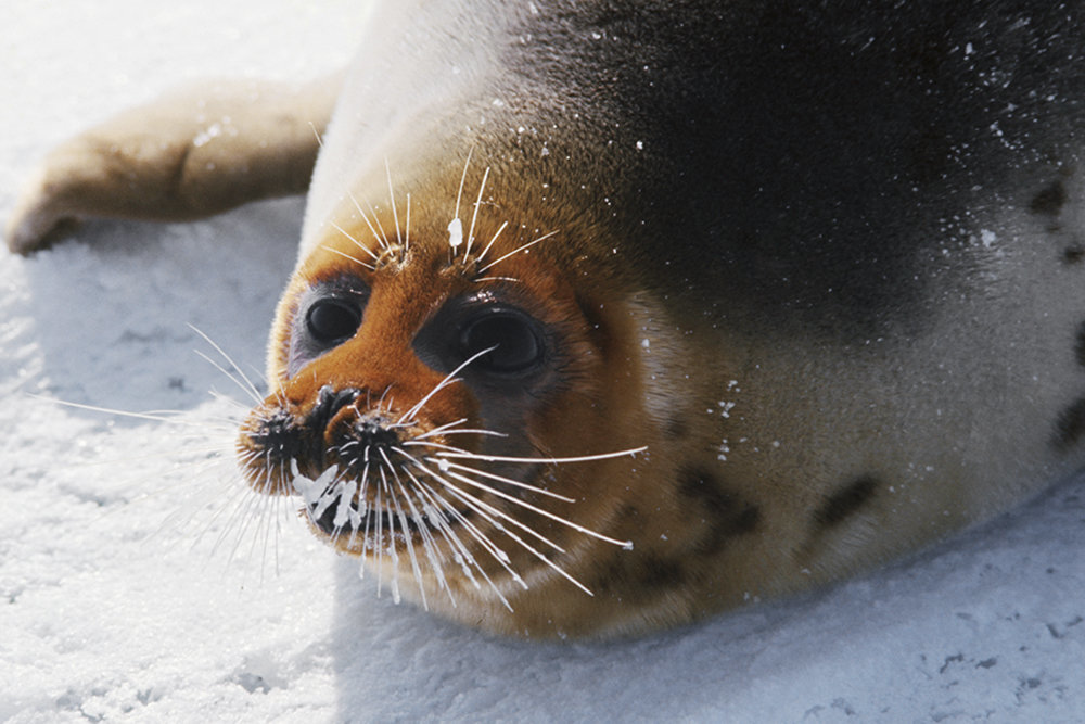 Ученые подтвердили природный характер гибели тюленей в Дагестане