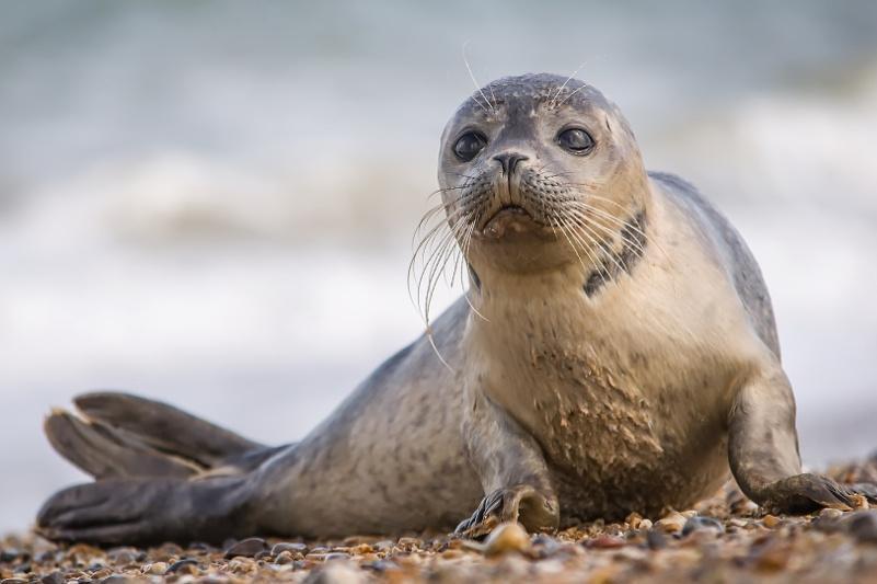 Ученые установили предположительную причину гибели тюленей в Дагестане