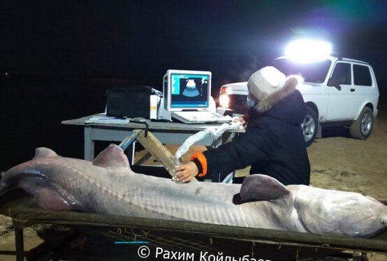 На севере Каспийского моря выловили гигантскую белугу