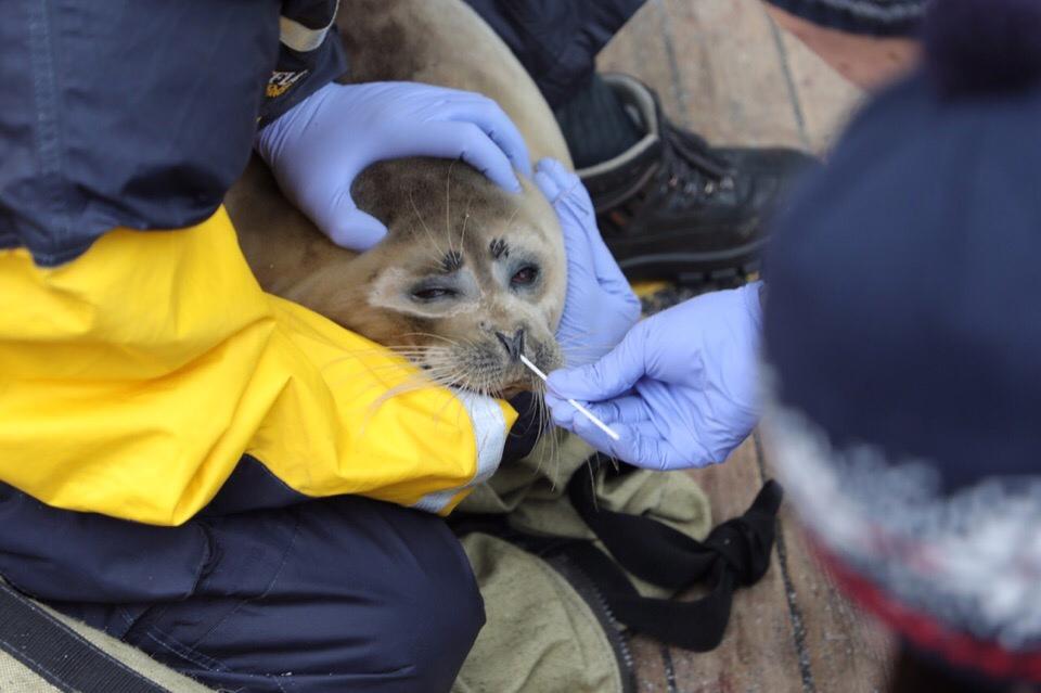 На Северном Каспии проводятся казахстанско-российские исследования популяции каспийского тюленя