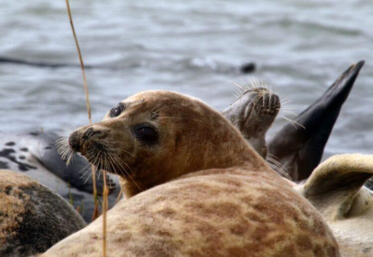 Российские учёные принял участие в международном вебинаре по каспийскому тюленю